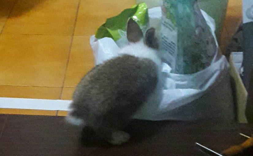 【兔兔也可以用的貓砂! 完全沒聞到兔兔的尿味! 】